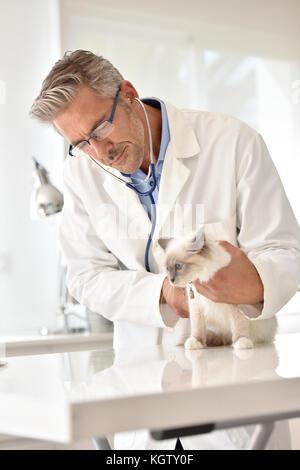 Veterinary examining cat in clinic - Stock Photo