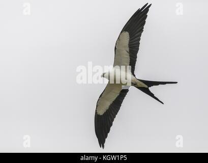 Swallow-tailed kite, Elanoides forficatus, in flight, Florida. - Stock Photo