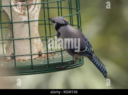 Blue jay, Cyanocitta cristata at garden bird feeder in winter, south Florida. - Stock Photo