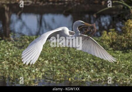 Great egret, Ardea alba, as the American subspecies, Ardea alba egretta in flight carrying nest material at breeding - Stock Photo