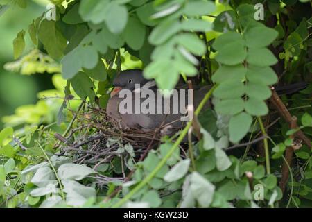 Wood Pigeon / Ringeltaube ( Columba palumbus ) nesting, breeding, sitting on eggs, hatching, hidden in a tree, very - Stock Photo