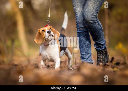 Teaching Your Dog to Walk on a Leash - Beagle - Stock Photo