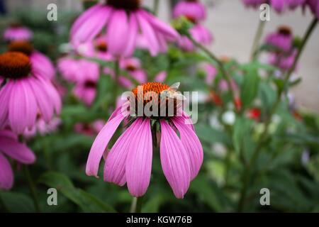 A bumble bee sitting on top of a pink cone flower in Huntsville, Ontario. - Stock Photo