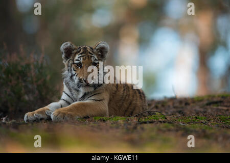 Royal Bengal Tiger / Koenigstiger ( Panthera tigris ), young animal, adolescent, lying, resting on the ground of - Stock Photo