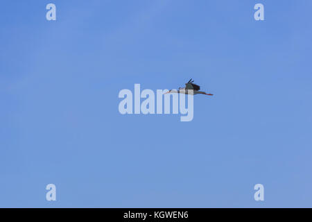 Single white stork is flying straight and high in the clean blue sky. - Stock Photo