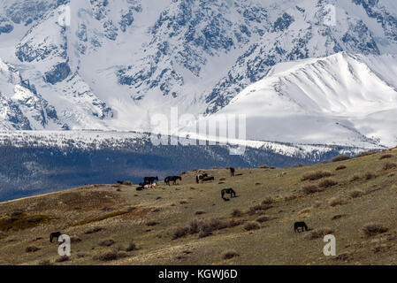 Scenic view with the beautiful mountains with snow and glaciers, and a herd of horses grazing on a hillside with - Stock Photo