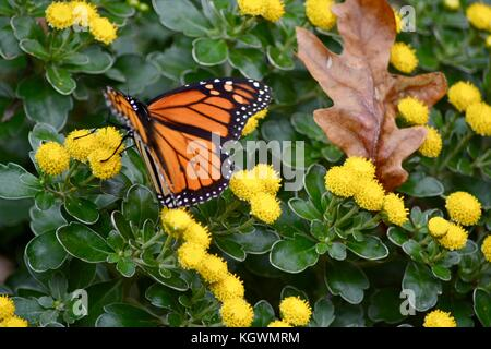 Monarch butterfly on yellow flower - Stock Photo