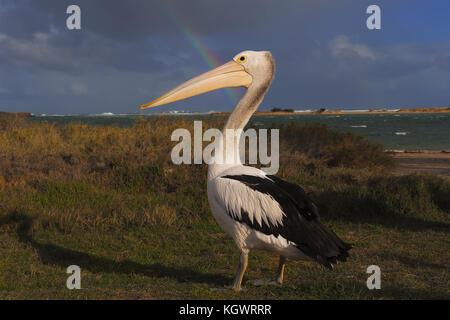 Australian pelican - Stock Photo