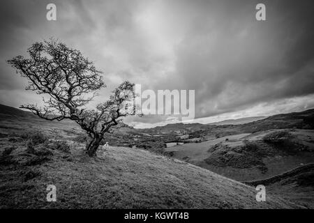 Black and white image of a single oak tree on a hill in Great Britain. - Stock Photo