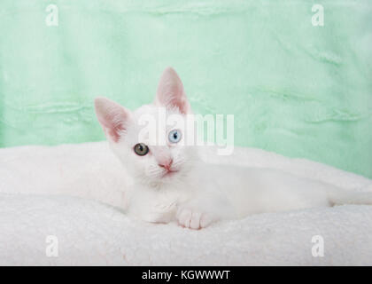 Portrait of a cute white kitten with heterochromia odd eyes laying on an off white sheepskin blanket, mint green - Stock Photo