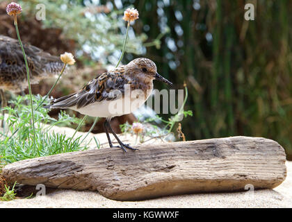Least Sandpiper on a sandy beach with driftwood, flowers and shrubbery in the background - Stock Photo