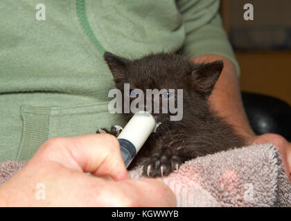 kitten being fed milk stock photo, royalty free image