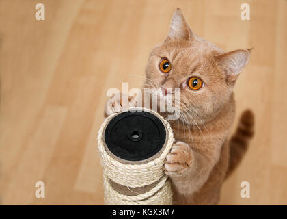 The cute tabby cat is standing by the scraper and looking very cute with eyes wide open. - Stock Photo