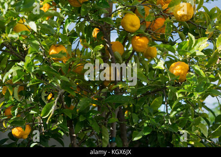 Ripe oranges on tree - Stock Photo