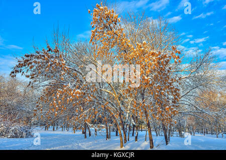 Snow covered Maple tree (Ácer negúndo) with golden seeds on the branches in winter landscape at nice winter sunny - Stock Photo
