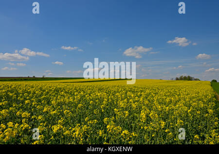 A rural landscape:  a field of yellow oilseed in bloom with a line of trees in the distance on the background of - Stock Photo