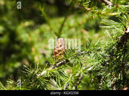 close up of pine branches - Stock Photo