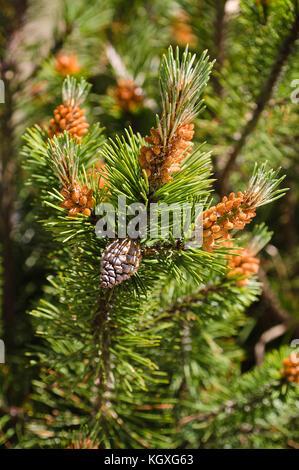 mugo pine branch  with cones - Stock Photo