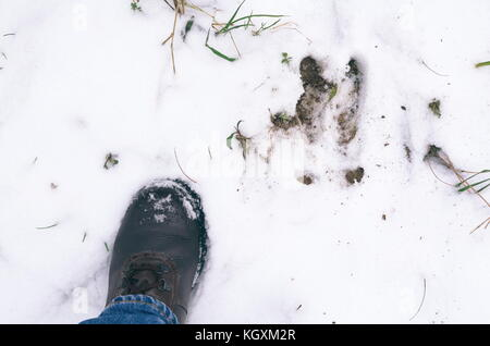 Boar Footprint and Man's Left Foot in the Snow - Stock Photo