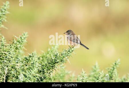 Dartford warbler (Sylvia undata) perched on gorse - Stock Photo