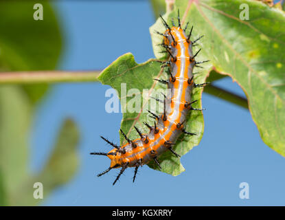 Dorsal view of Gulf Fritillary caterpillar on a Passionflower leaf - Stock Photo