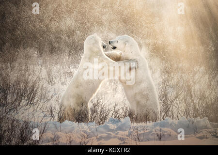 Two Polar Bears Playing Together In Winter With Snow Zoo