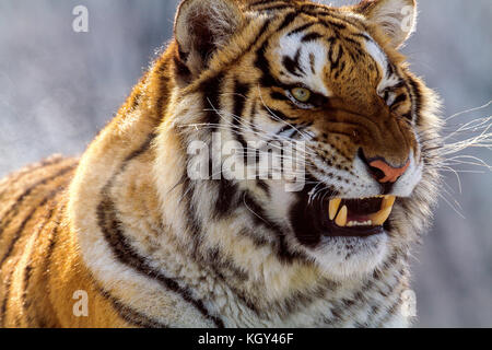 Siberian tiger in the tiger conservation park in Hailin, Heilongjiang province, North East China - Stock Photo