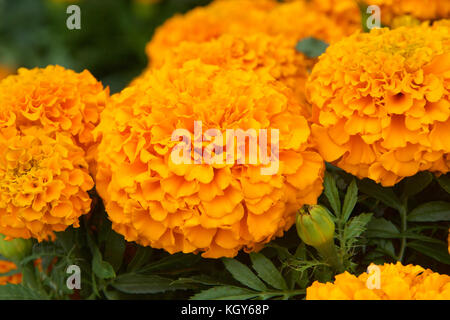 Close up of Marigold flowers. Marigold flowers - Tagetes - an easy to grow annual plant provide natural pest control - Stock Photo