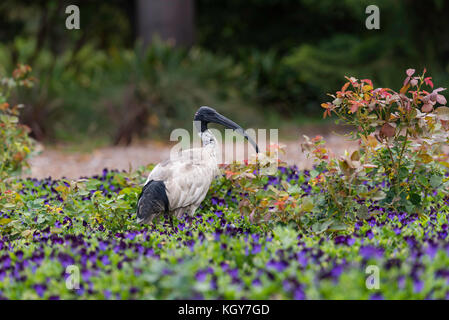 An Australian White Ibis bird, a native bird that is increasingly found away from its natural habitat and now living - Stock Photo