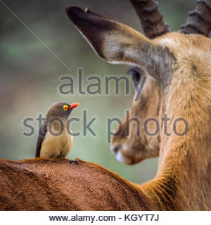 Red-billed oxpecker in Kruger national park, South Africa ; Specie Buphagus erythrorhynchus family of Buphagidae - Stock Photo