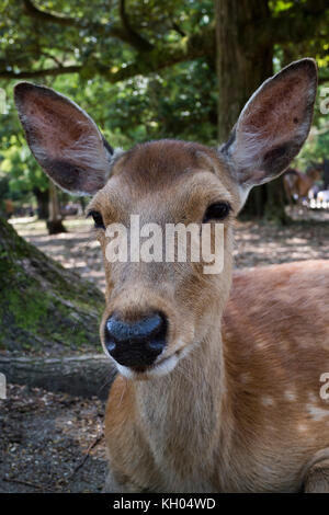 Nara, Japan -  May 29, 2017:  portrait of a deer near the Todai-ji  temple - Stock Photo