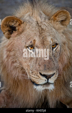 Portrait of a lion in Etosha National Park, Namibia, March 2013. - Stock Photo