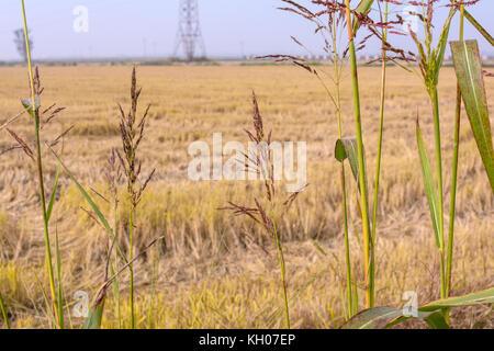 ears of rice in a freshly plowed field - Stock Photo