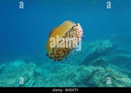 Jellyfish underwater, a Mediterranean jelly Cotylorhiza tuberculata, Catalonia, Costa Brava, Cap de Creus, Spain - Stock Photo