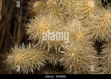 Jumping Cholla (Cylindropuntia fulgida) from Maricopa County, Arizona, USA. - Stock Photo