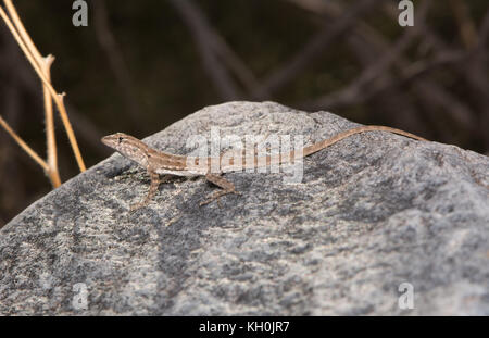 Schott's Tree Lizard (Urosaurus ornatus schottii) from Maricopa County, Arizona, USA. - Stock Photo