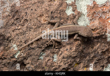 Striped Plateau Lizard (Sceloporus virgatus) from Hidalgo County, New Mexico, USA. - Stock Photo