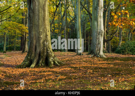 Tyninghame Estate, East Lothian, Scotland, United Kingdom, 11th November 2017. Late afternoon sunlight in the Autumn - Stock Photo