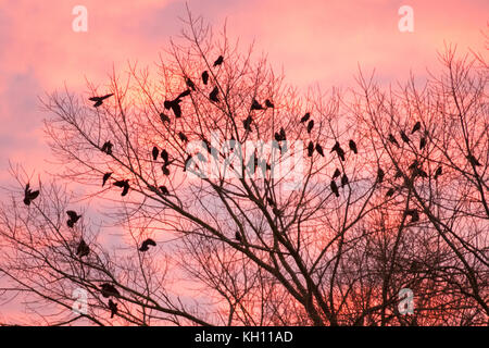 Rufford, Lancashire. UK. Weather. 13/11/2017. Cold Start to the day. Thrang of Crows' seek the higher boughs to - Stock Photo