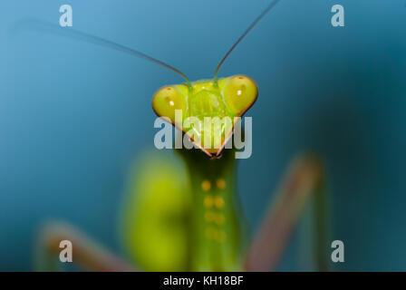 Green praying mantis. - Stock Photo