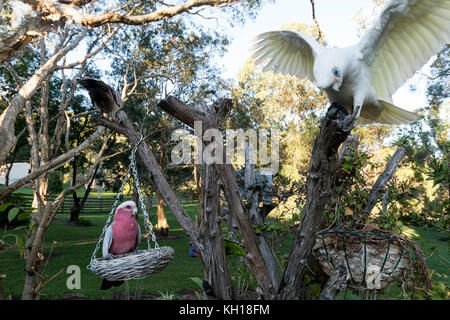 A Galah feeding whilst a Little Corella just landed on a tree stump in a residential garden on the Sunshine Coast, - Stock Photo