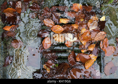 Autumn silver birch leaves blocking a street drain cover. UK - Stock Photo