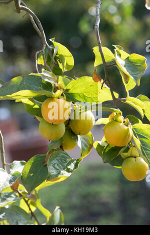 Diospyros kaki. Persimmon fruit ripening on a tree in October. RHS Wisley Gardens, Surrey, UK - Stock Photo