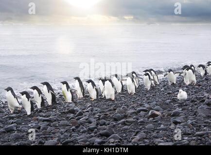 A line of cute Adelie penguins (pygoscelis adeliae) walking along the edge of the Weddell Sea on a pebble beach - Stock Photo