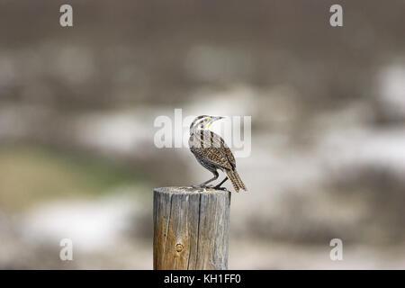 Western meadowlark Sturnella neglecta on roadside fence post United States of America - Stock Photo