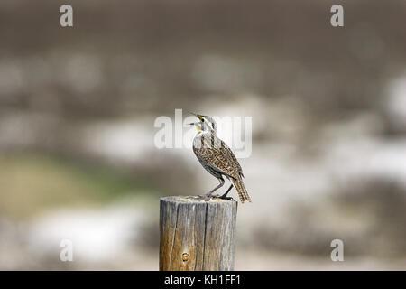 Western meadowlark Sturnella neglecta singing on roadside fence post United States of America - Stock Photo