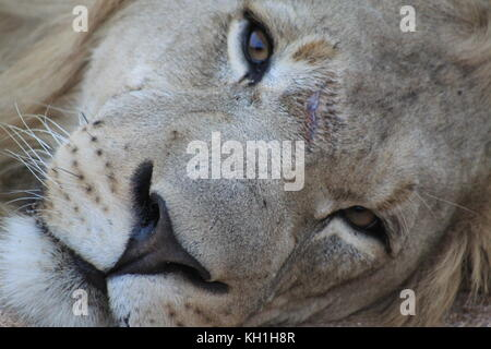 A resting young male lion taking on holiday in Hoedspruit, South Africa. - Stock Photo