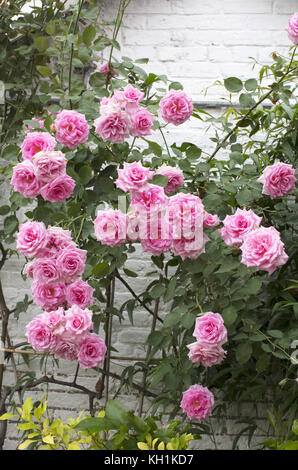 Rosa, 'Colombian Climber' growing in the greenhouse, Guanock House and garden, Lincolnshire - Stock Photo
