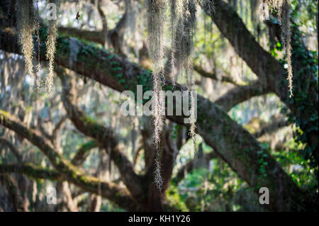 Romantic view of Spanish moss hanging from the branches of a mighty oak tree in the American South - Stock Photo