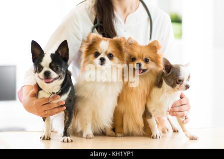 Female vet holding dogs in hospital - Stock Photo
